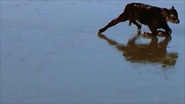 Calf struggling on frozen pond