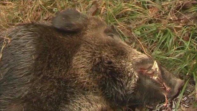 A dead wild boar