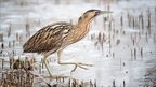 Bittern on ice, by Tony McLean This may be down to arrivals from Europe, or bitterns are better adapted to the cold than thought.