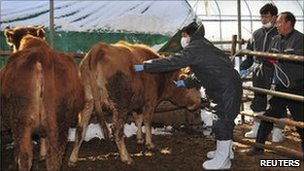 Vet school volunteer vaccinates a cow at farm in Yeoju, about 105 km (65 miles) east of Seoul, 29 Dec 2010