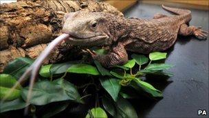 Fluffy, a 16 inch-long monitor lizard
