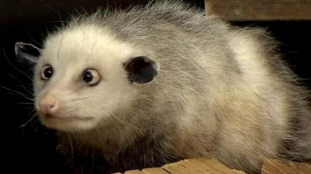 Cross-eyed opossum