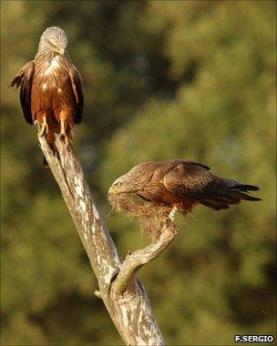 Black kites (F.Sergio)