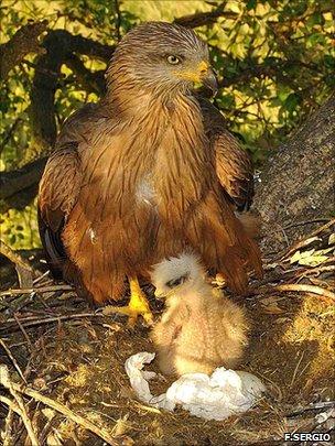 Black kite and chick (F.Sergio)