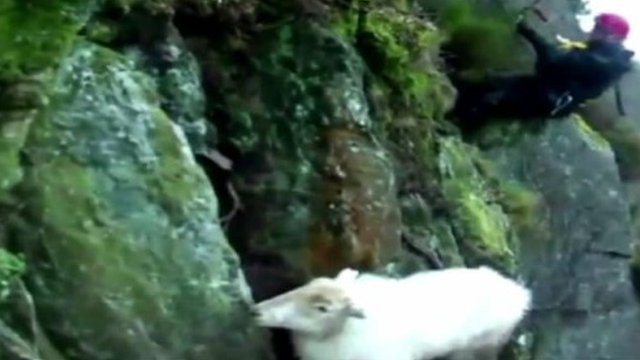 Sheep and rescue worker on side of cliff