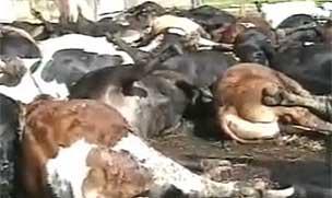 Dead cattle