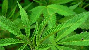 Cannabis plants - generic