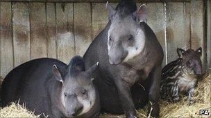 Newborn tapir with parents Tamang and Denzil