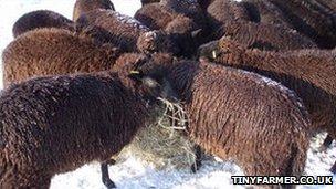 Sheep in the Cambridgeshire snow