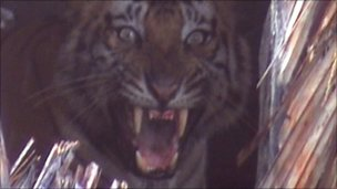 Many tigers are captured and killed by villagers