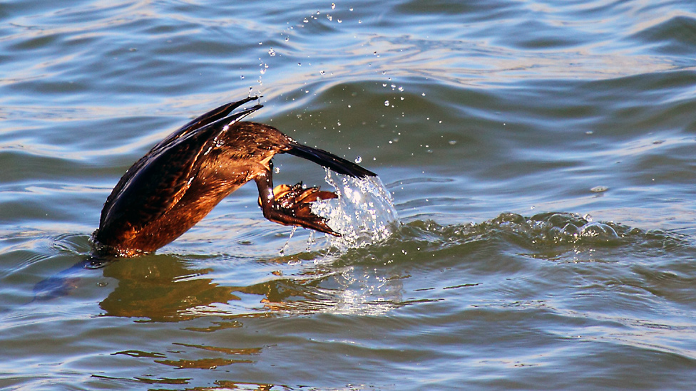 Cormorant diving into water
