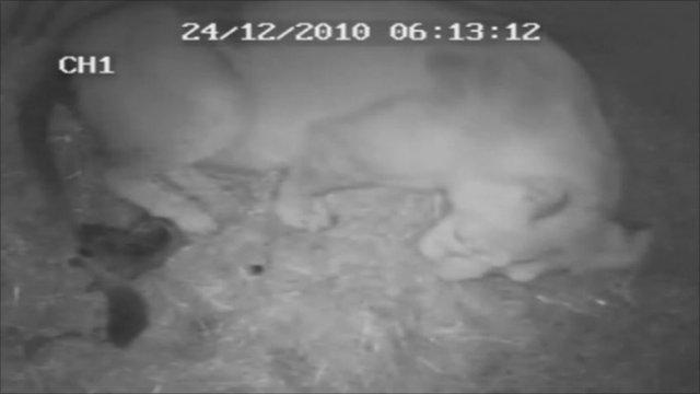 CCTV of a lion cub being born