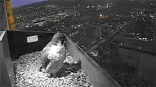 Peregrine falcon on Norwich Cathedral (Photo: Hawk and Owl Trust)