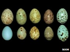 eieren van koekoek (bovenste rij) en hun gastvogels (onderste rij)
