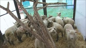 Lost lambs in Herefordshire, Worcestershire or Gloucestershire?