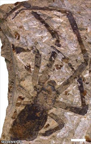Fossil spider