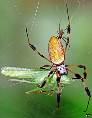 Female golden silk spider with prey - and small male