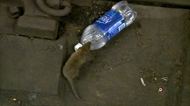 Rat in New York subway