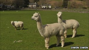 Alpacas Emilio and Domenico. Pic: Owen Owen