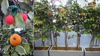 Picture of oranges in pots and knitted cherries and orange