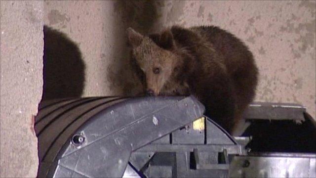 Bear raiding bin (TV Markiza)