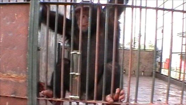 Urinating chimp