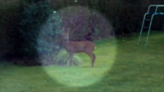 Deer in garden in Sale