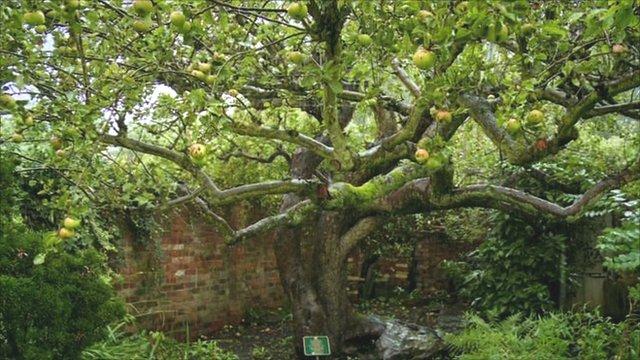 The original Bramley apple tree