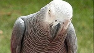 Harry is an African grey parrot like this one