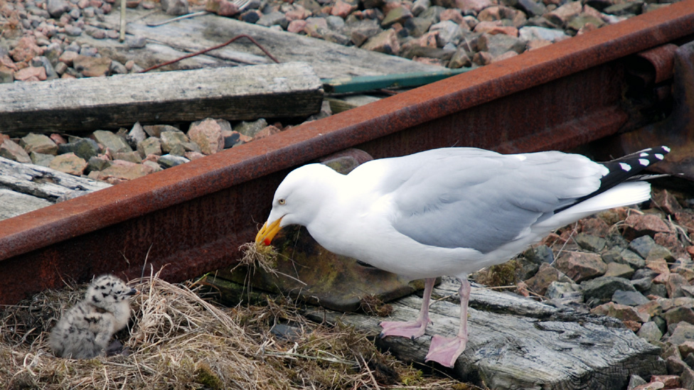 Seagull fixing its nest