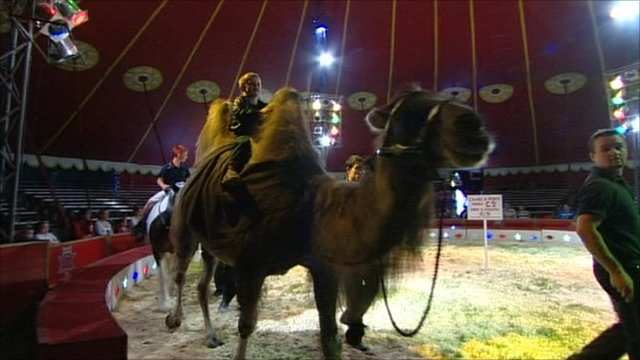 Camel performing in a circus
