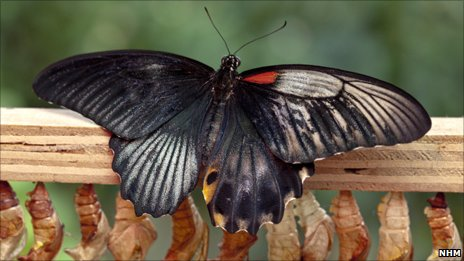 Gynandromorphic Butterfly Hatched at London Museum