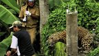 A leopard prepares to attack a forest guard at Prakash Nagar village in the eastern Indian state of West Bengal