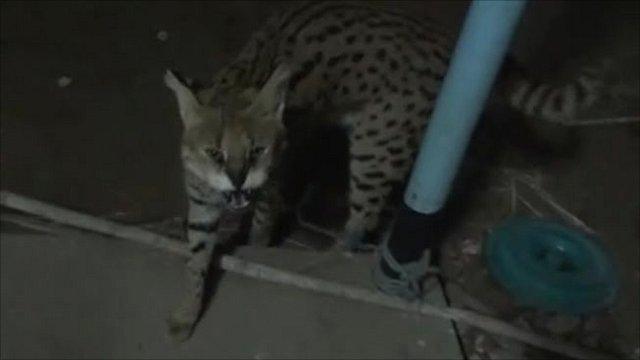 Big cat outside hotel