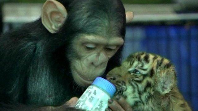 Dodo the chimpanzee with a tiger cub