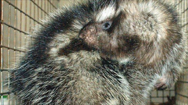 African crested rat (Margaret Kinnaird)
