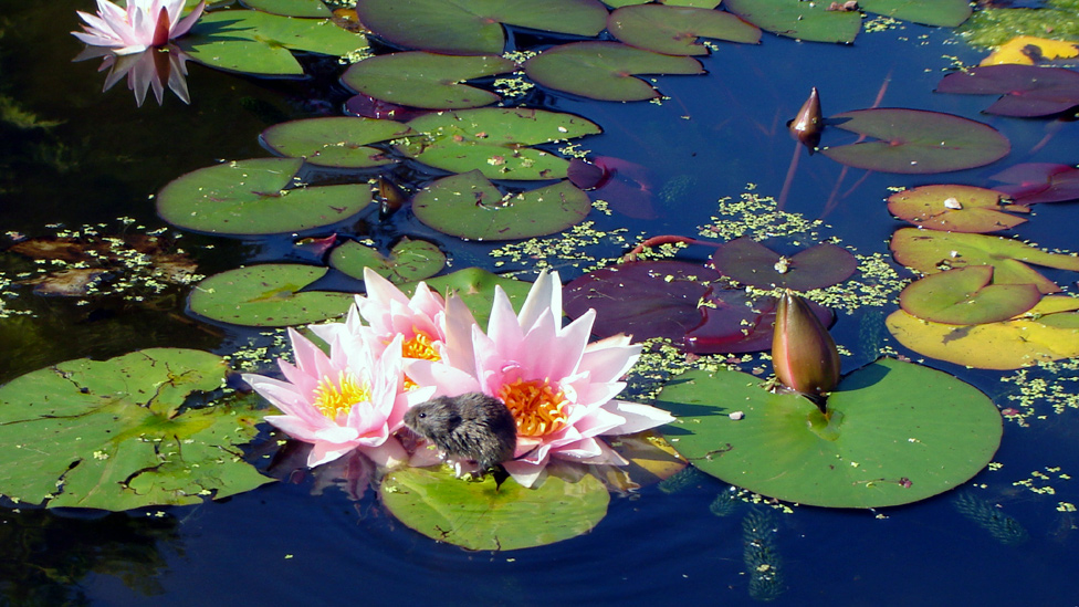 Water vole on a water lily