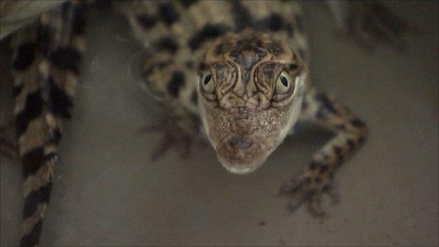 Siamese baby crocodile