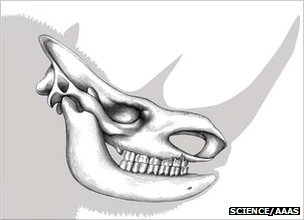 Head of woolly rhino