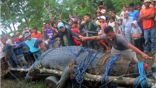 People measuring the saltwater crocodile