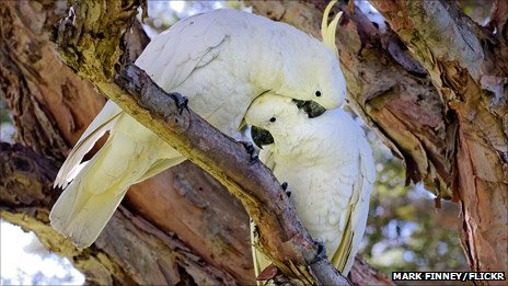 Wild sulphur-crested cockatoos in Sydney's Royal Botanical Garden, photo by Mark Finney on Flickr