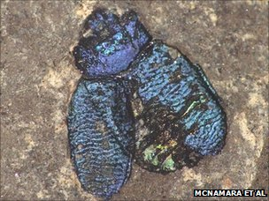 A 40 million-year-old fossil chrysomelid beetle