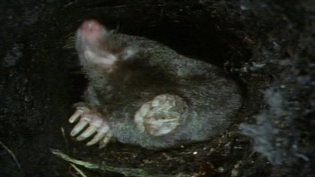 A mole underground