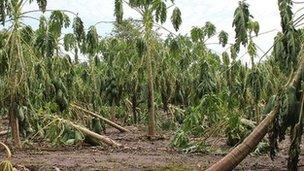 Damaged papaya fields in El Salvador