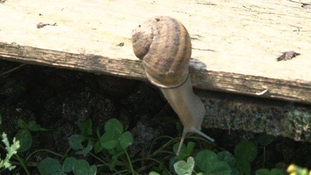 Bulgarian snail