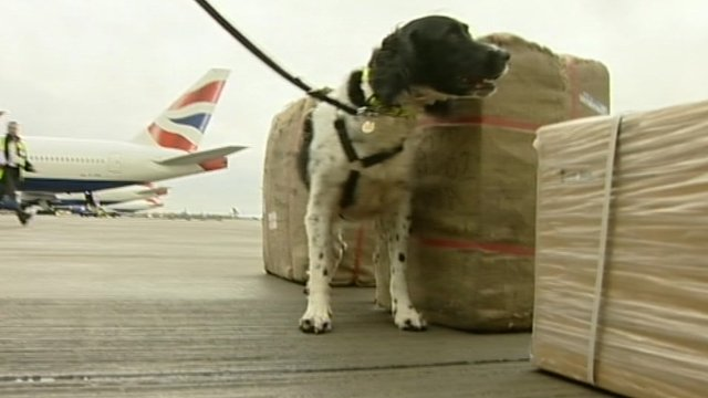A sniffer dog at Heathrow Airport