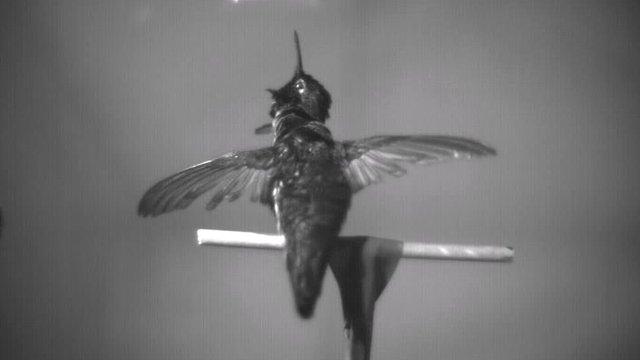Anna's hummingbird (Victor Ortega-Jimenez)