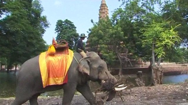 Elephant helping post-flood clean-up in Ayutthaya, Thailand