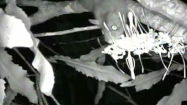 Night footage showing rat going for flower nectar.