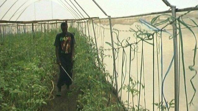 Turkana worker in greenhouse